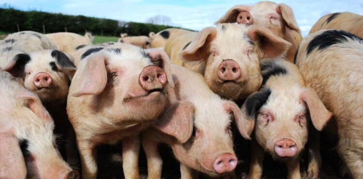 Единороссы и свиноводы